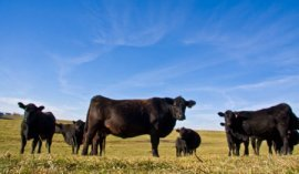 montana-black-angus-cattle
